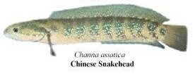 chinese snakehead
