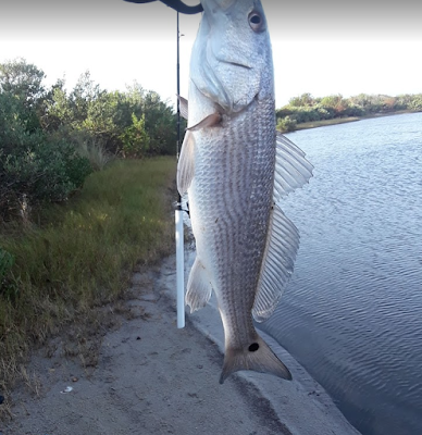 Fish Reports, Florida East Coast Surf Fishing, Fishing Report, Fish Report, Canaveral National Seashore, Playalinda Beach, Haulover Canal, Mosquito Lagoon, Jetty Park, Port Canaveral, Brevard County, Fishing, Saltwater