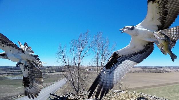 Burung Langka Australia Yang Mempunyai Kebiasaan Aneh