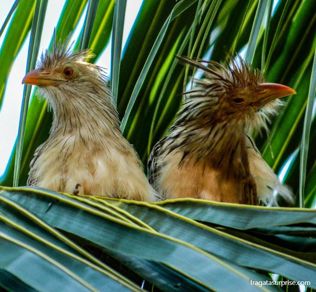 filhotes de carcará, no Pantanal do Mato Grosso