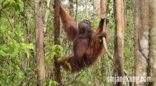 Orangutan tanjung puting national park