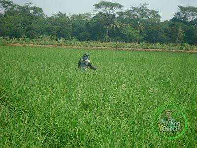 FOTO 3 : Pemupukan Kedua Tanaman padi NAZWA 39 HST di Sawah Rawa