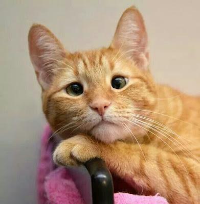 Imagen de gatito beige de mirada triste