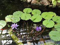 Nymphaeas - Kyoto Botanical Gardens Conservatory, Japan