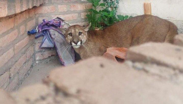 Puma en Jujuy