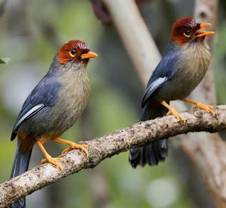 Suara burung Poksay Borneo
