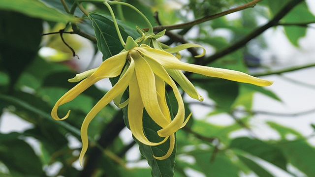 Gambar flora bunga kenanga