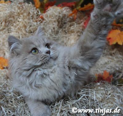 Britisch Langhaar Katzenbaby fawn golden tabby