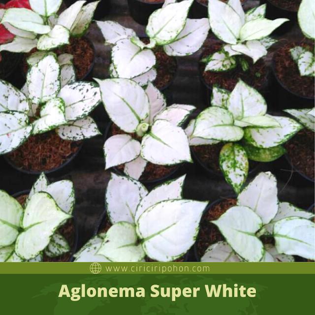 Ciri Ciri Pohon Aglonema Super White