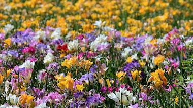 Fresias, cultivar flores fragantes en el jardín