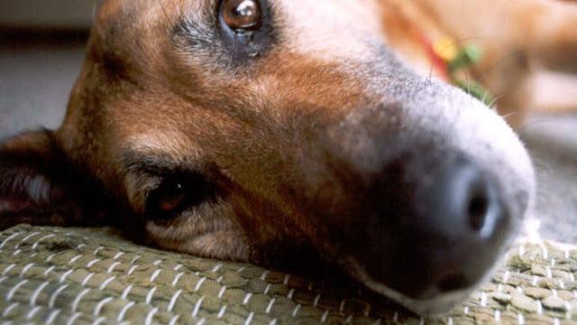 Συνέλαβαν 38χρονο Ρώσο στη Λάρισα για δηλητηρίαση σκύλου