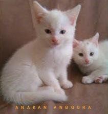 Harga Kucing Anggora Bandung Bulan Maret-April 2020