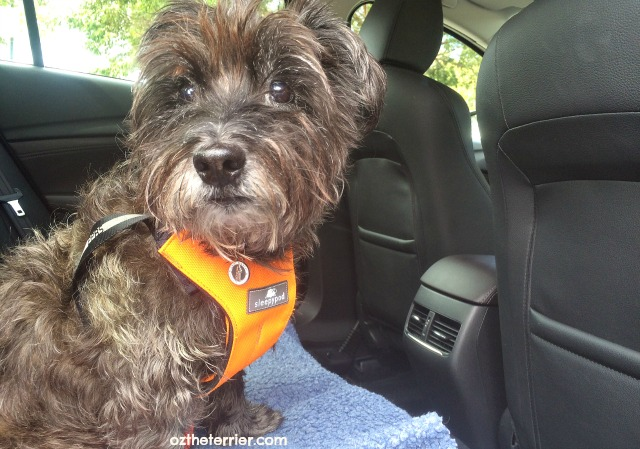 Oz the Terrier uses Sleepypod ClickIt to safely ride in Mazda 6 Grand Touring Sedan