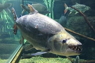 Gambar Ikan Goliath Tiger Fish