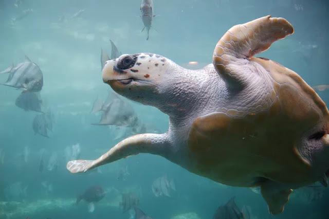 Pengertian Reptil Laut