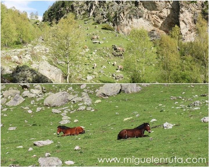 Vacas-caballos-Aiguestortes