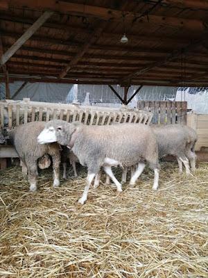 koyunlara koç ne zaman katılır