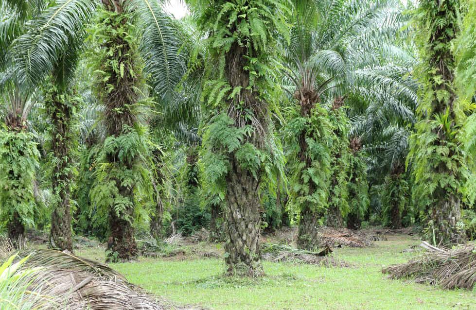 Daftar Pekerjaan TBM, TM, Bibitan di Perkebunan Kelapa Sawit