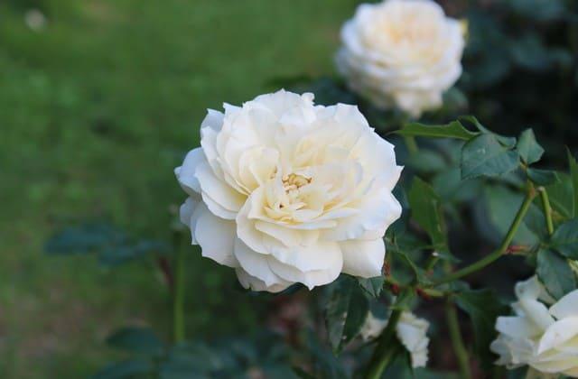 tanaman mawar putih