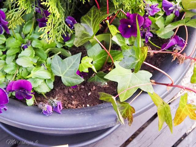 orthex botanica ruukku ruukkuistutus tuija kartiotuija muratti orvokki istutus terassi