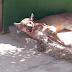 Moradores capturam onça-parda em Reriutaba; felino é o 2º maior do continente