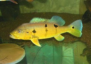 Peacock Bass Pinima