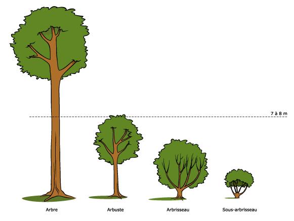 les mains diff rences arbre et arbuste. Black Bedroom Furniture Sets. Home Design Ideas