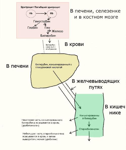 обмен билирубина схема