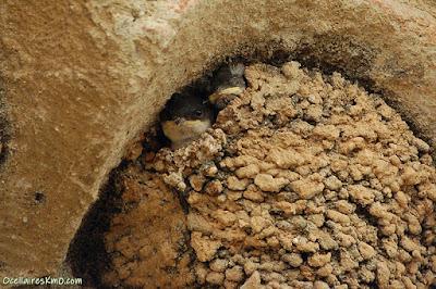 Polls d'oreneta cuablanca