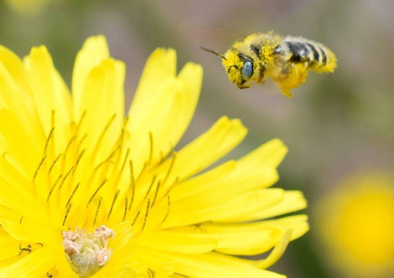El gran problema que provocó en Chile el abejorro europeo
