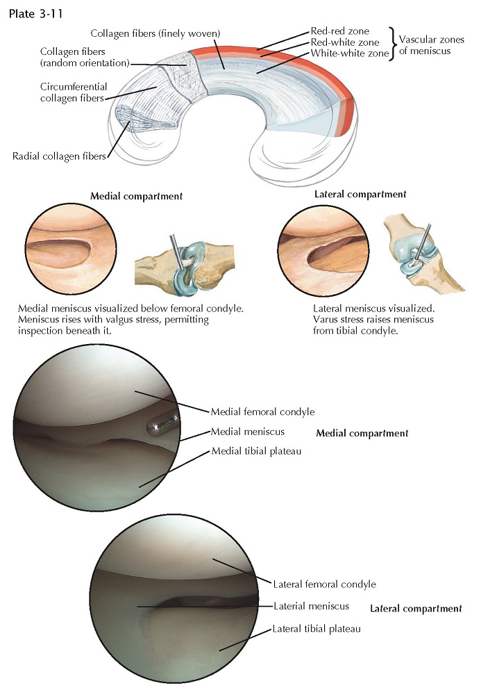 MEDIAL AND LATERAL MENISCUS