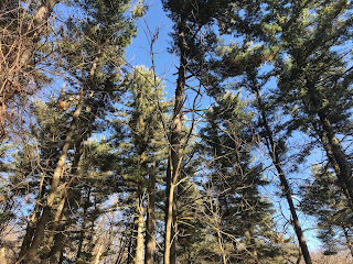 A look up from the ground at a stand of green pine trees on a blue sky day.