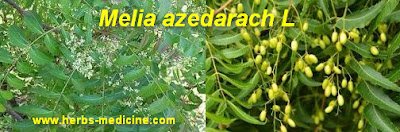 Hypertension use Melia azedarach