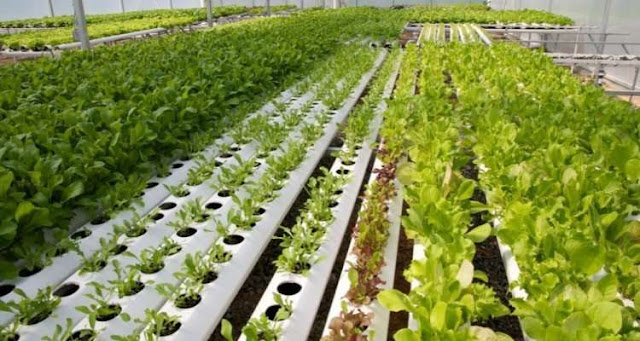 The DNA of lettuce unravelled: 6000 years from weed to beloved vegetable