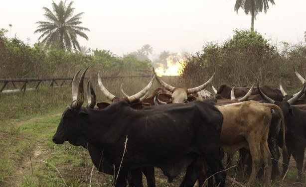 Fayose playing with fire – Miyetti Allah warns over killing of cows