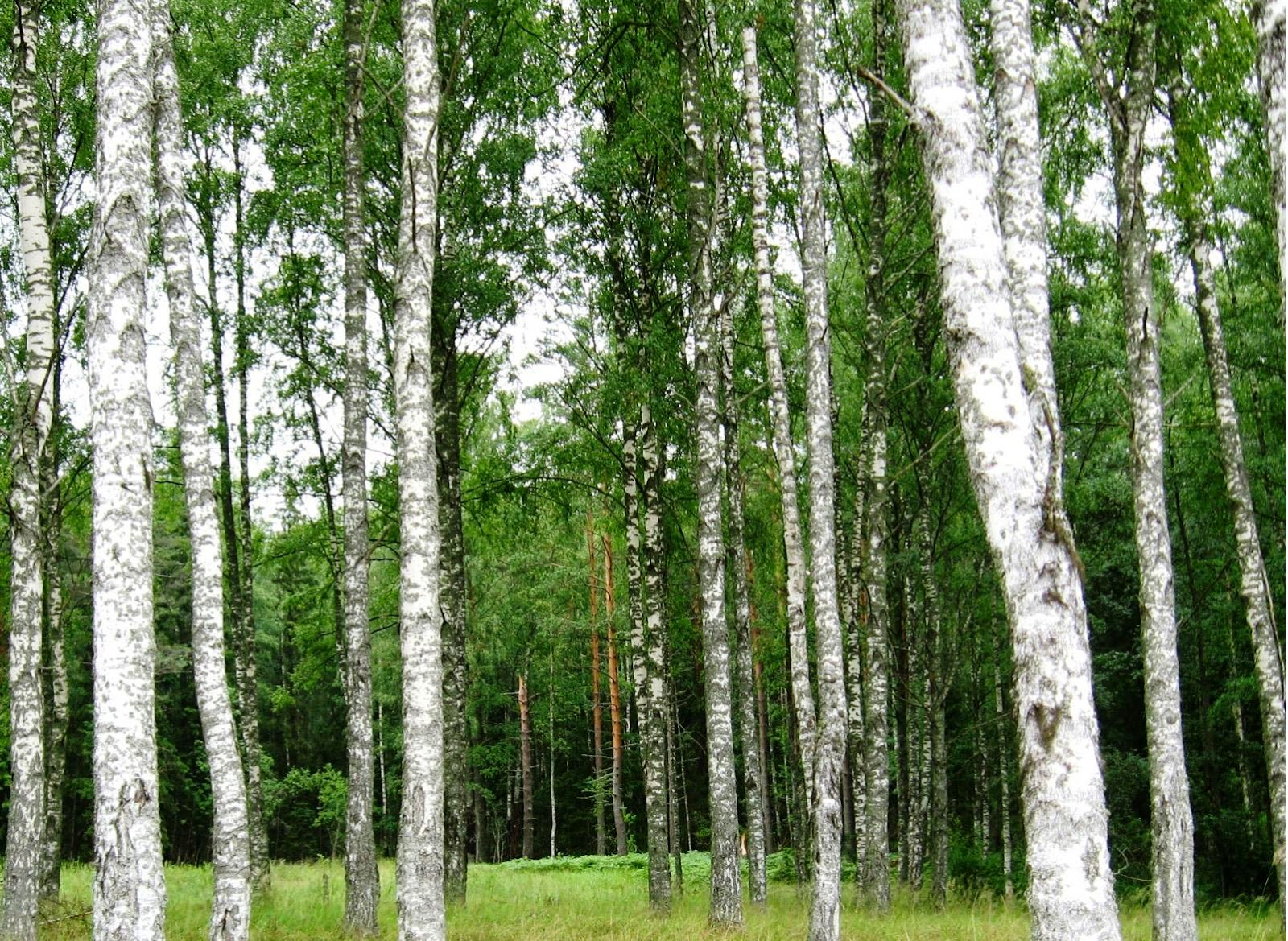 Birch Tree Wallpapers Hd Background Hd Desktop