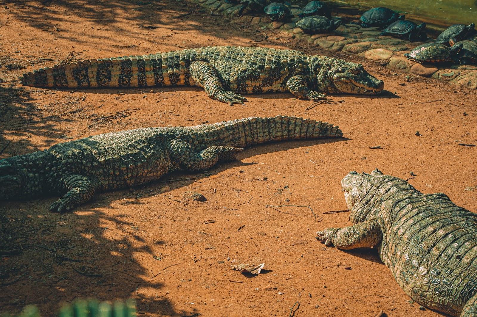 Kubanische Baby Krokodile klingen wie Laserguns aus Arcades.