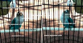 https://www.mysomer.com/2019/08/asal-usul-lovebird-minor-dan-fakta-lovebird-konslet-minor.html