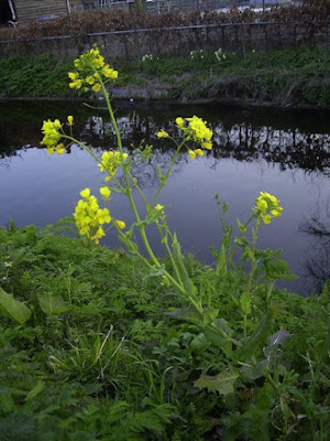 Botanists did some research on field mustard and claimed to see evolution. Not only is evolution absent, but they affirmed a creation science biological model.