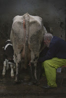 Back end of a cow being milked