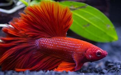 Cara Menyilangkan Warna Ikan Cupang Kualitas Unggul