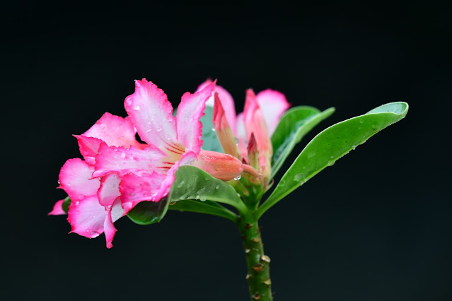 Bunga Kamboja Jepang (Adenium sp.)