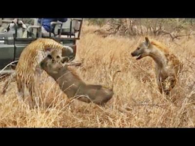 Perburuan macan tutul terhadap babi hutan