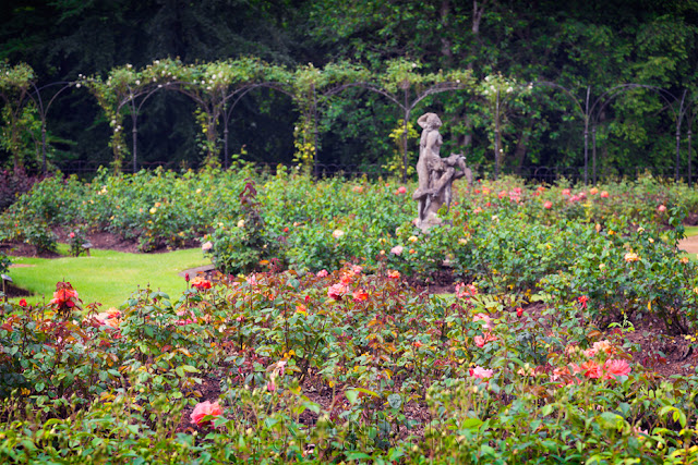 Roses in bloom at the Rose Garden at Blenheim Palace in the Cotswolds by Martyn Ferry Photography