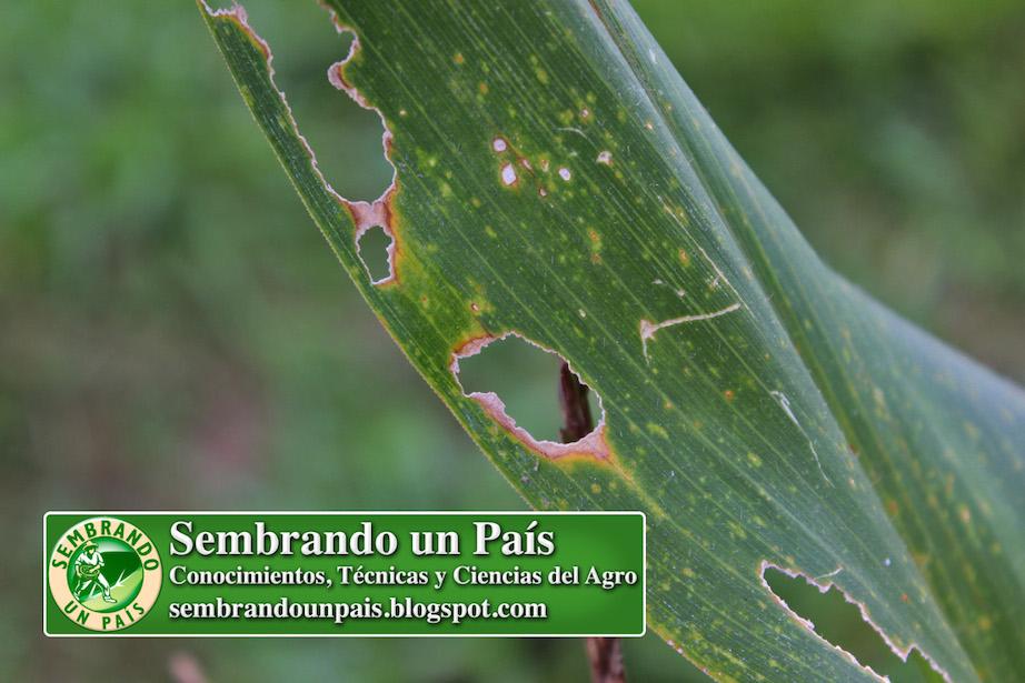 hoja de maíz atacada por saltamontes