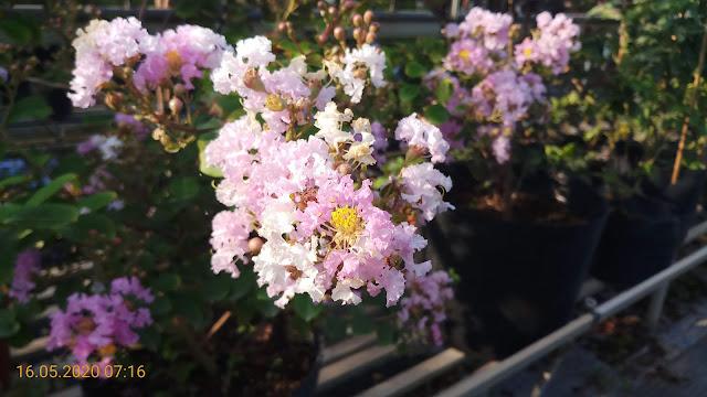 Cây tường vi tím ở nhà ra hoa vào giữa tháng 05/2020
