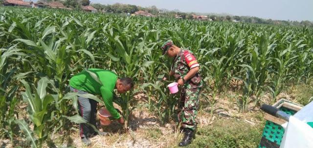 Babinsa Cawas Dampingi Petani Pupuk Tanaman Jagung