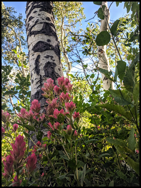Giant Indian Paintbrush in front of an interesting Quaky Aspen Tree Trunk.
