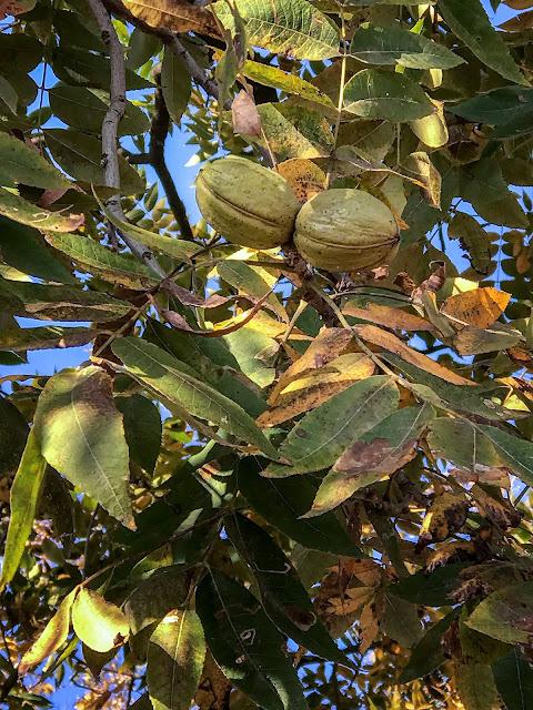 Pecans in tree