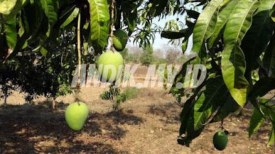 pohon mangga, agar mangga cepat berbuah, berkebun